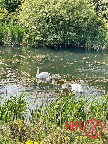 HHT-Swans